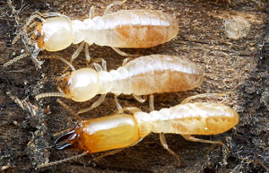 What Does a Termite Look Like?