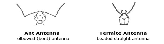 Termite vs Ant Antennae Comparison