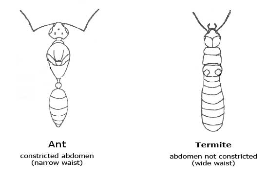 Ttermite vs Ant Body Comparison
