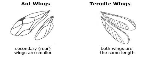 Termite vs Ant Wing Comparison