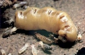 Formosan Termite Queen Picture