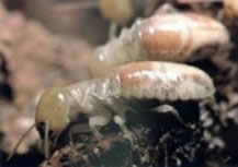 Worker Termite Pictures