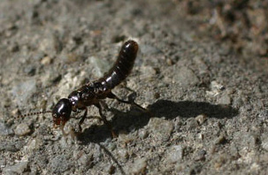 Western Subterranean Termite Queen Picture