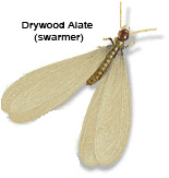 Picture of a Drywood Swarmer Alate