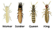 Picture of Drywood Termites: Worker, Soldier, Queen and King
