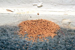 Termite pellets (frass) are sure sign of termites.