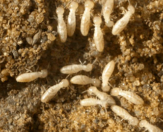 Image Result For How To Treat Termites Yourself