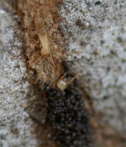 Pictures of Termite Tubes