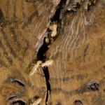 Termites on an Oak Log