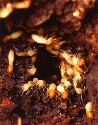 Termite Nests: Looking Inside a Termite Colony