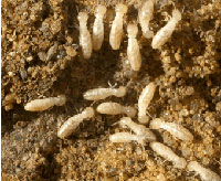 What Are Termites?